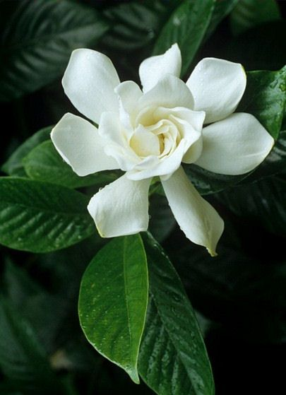 Love This Flower Planted Several At Our Old House In Ga Very Fragrant And Pretty Jasmine Flower Most Beautiful Flowers Gardenia