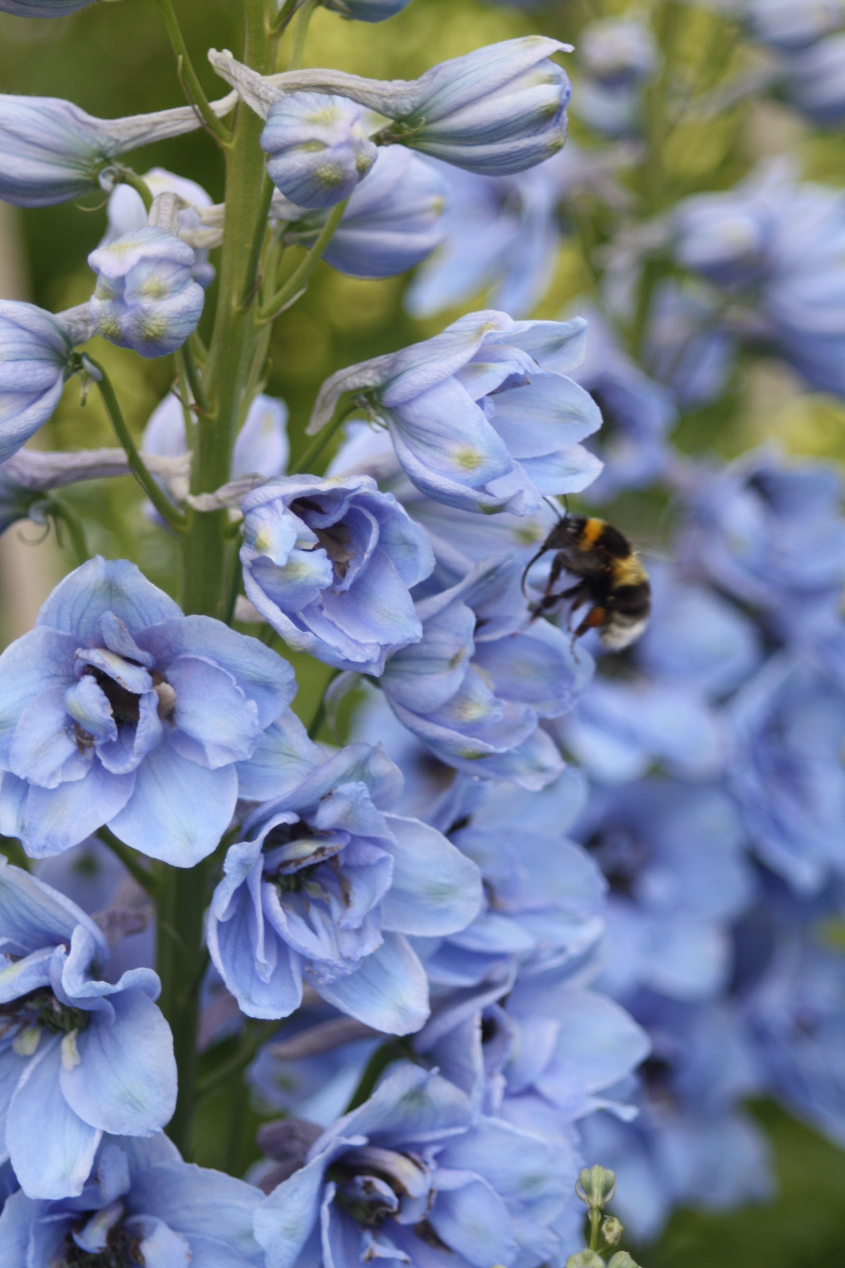 delphiniums with bee