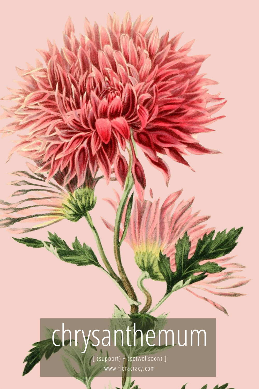 Chrysanthemum Flower Meaning In 2020 Beautiful Flower Arrangements Chrysanthemum Flower Flower Meanings