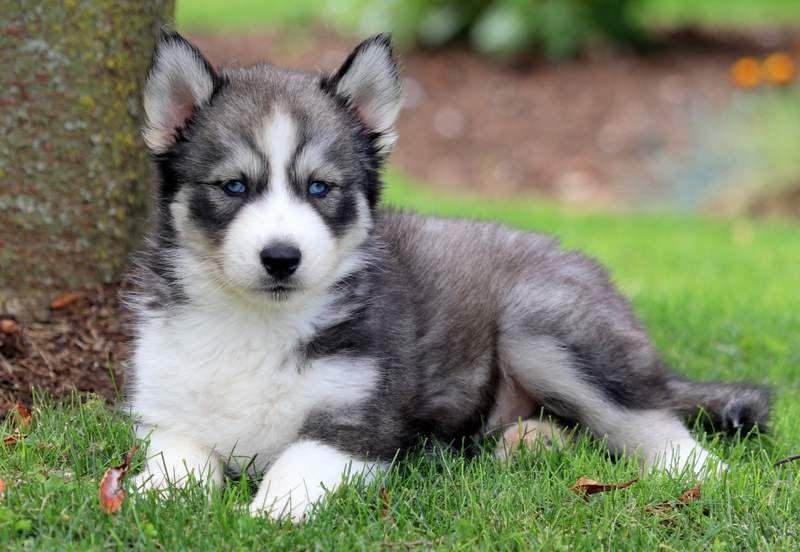 Canon Husky Puppy Siberian Husky Funny Siberian Husky Facts