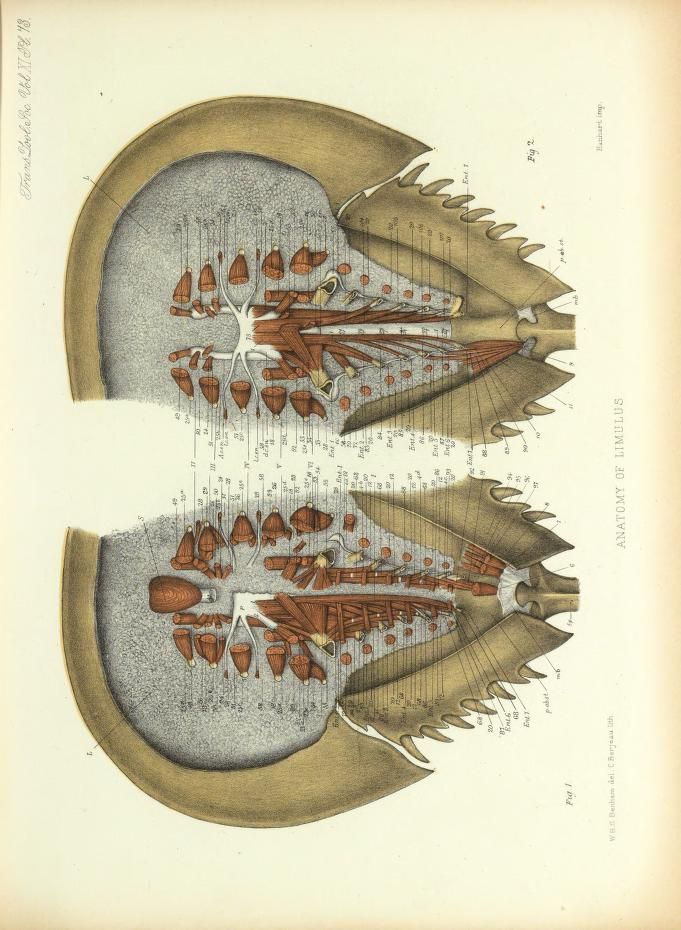 Anatomy of Limulus. On the muscular and endoskeletal systems of ...