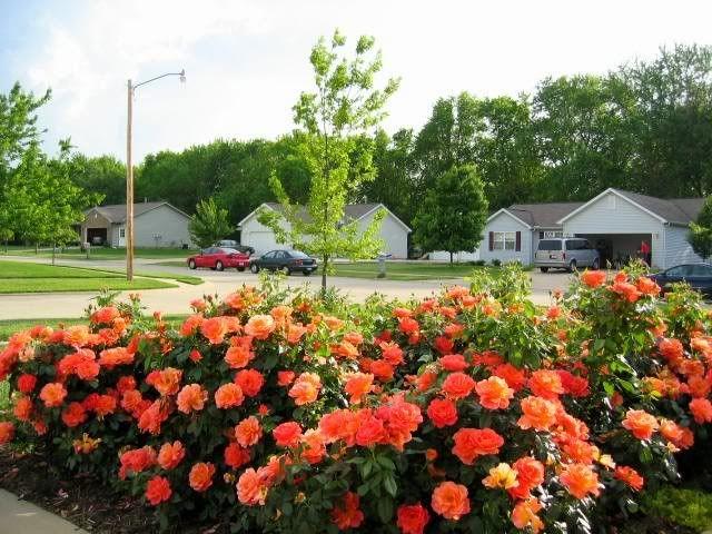 Charming Mass Planting Of Livinu0027 Easy   Rose Gallery Forum   GardenWeb
