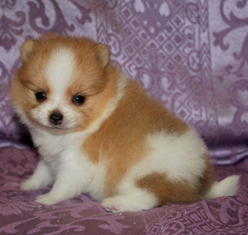 My precious new Pomeranian Puppy - Dolly