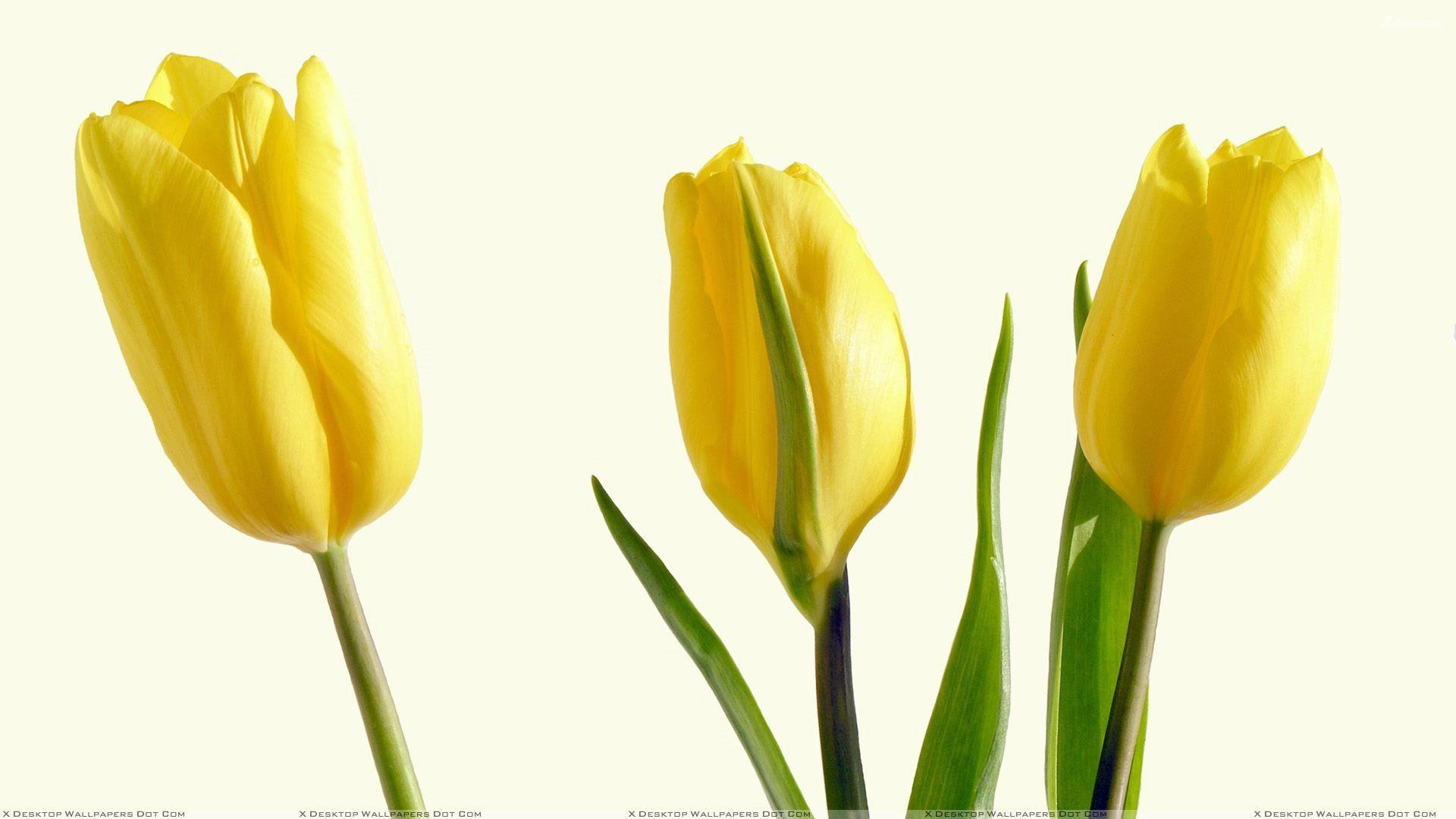 Background white tulips yellow three flowers roses pinterest background white tulips yellow three mightylinksfo