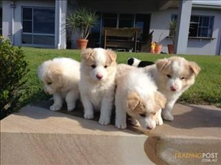 Little Lulus So Cute Border Collie Puppies Puppies