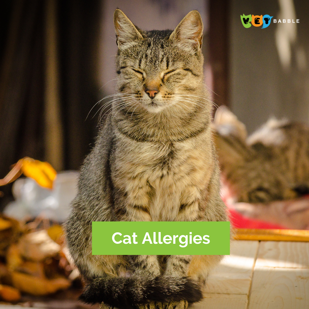 Cat Allergies Symptoms Treatment Vetbabble Cat Allergies Cat Allergy Symptoms Cats
