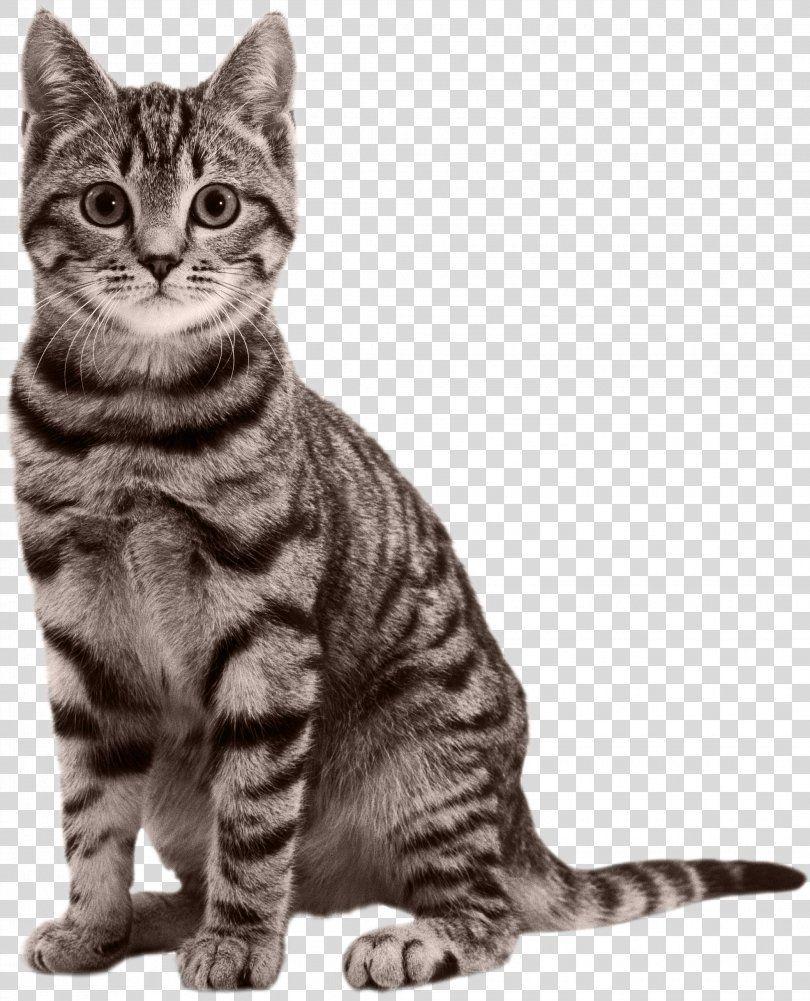 Cat Kitten Black Panther Felidae Cat Png Cat American Shorthair American Wirehair Asian Australian Mist Cats And Kittens American Wirehair Cats