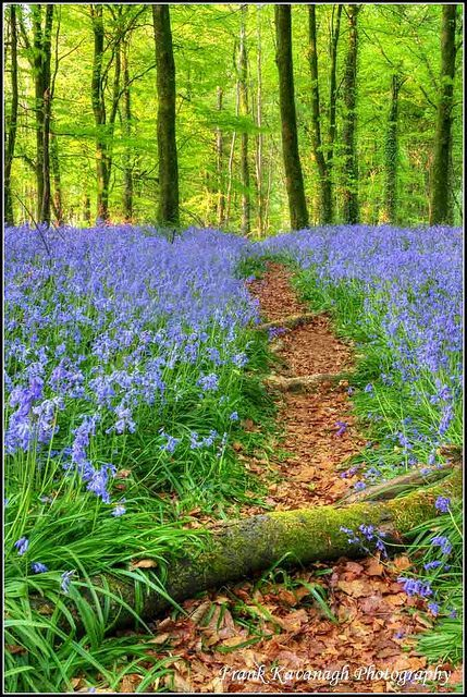 A Path Through The Bluebells in 2020 | Beautiful ...