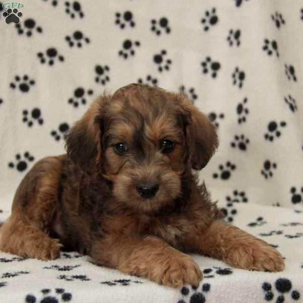 Samson Mini Schnoodle Puppy For Sale In Pennsylvania Schnoodle Puppy Mini Schnoodle Schnoodle