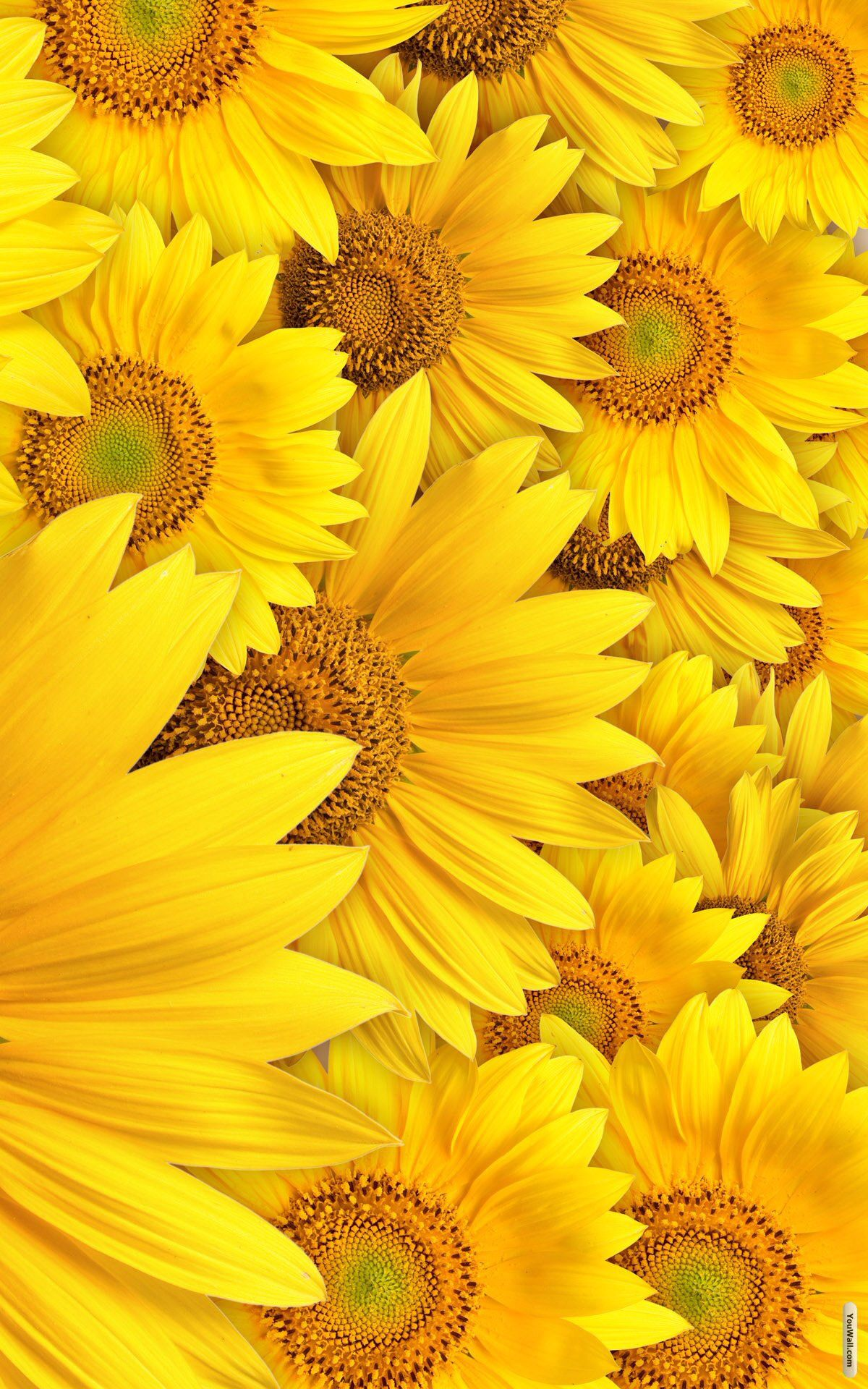 Yellow Sunflowera Yellow Wallpaper Flower Aesthetic Flower Pictures