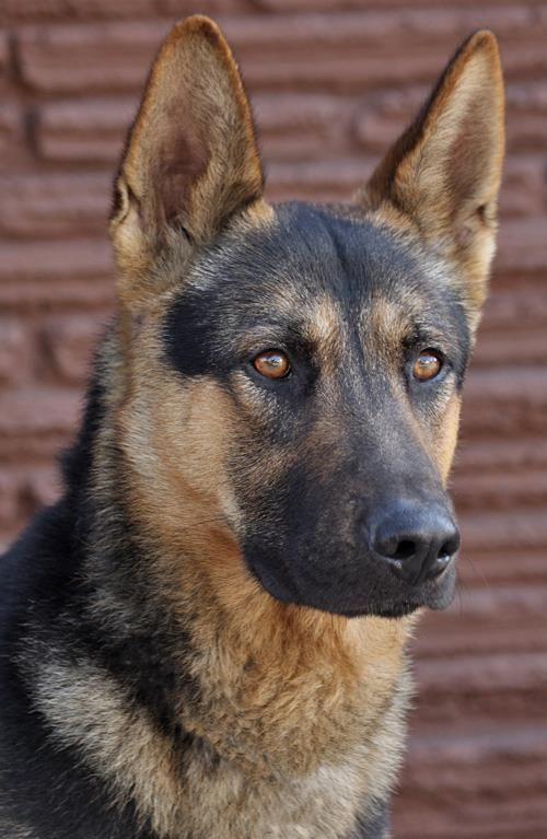 Dax Von Dahn From Westside German Shepherd Rescue Of Los Angeles