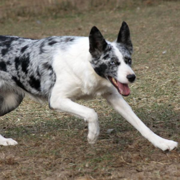 Blue Merle Smooth Coated Border Collie Border Collie Border