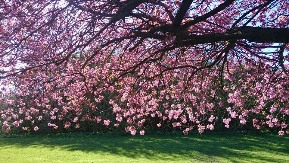 Glasgow Cherry Blossom Tree Blossom Trees Glasgow