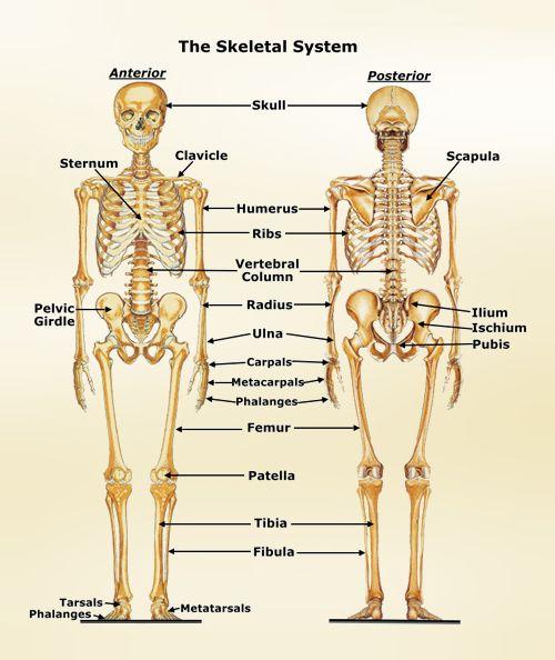http://skeletalsystem.organsofthebody.com/images/skeletal-system.jpg ...