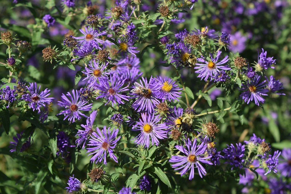 Symphyotrichum Laeve Plants Purple Wildflowers Different Plants