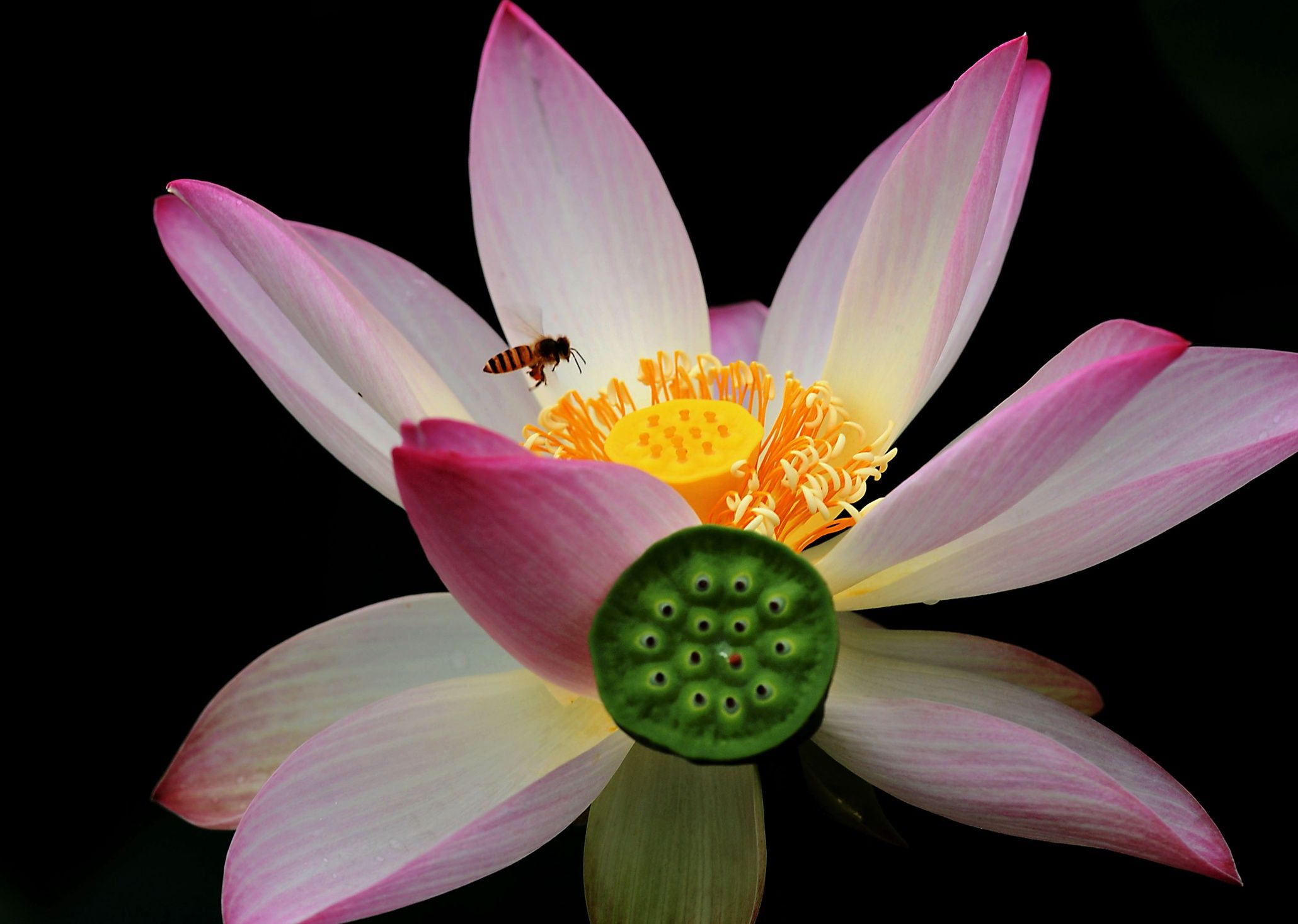 A Bee Collects Honey From A Lotus Flower At The