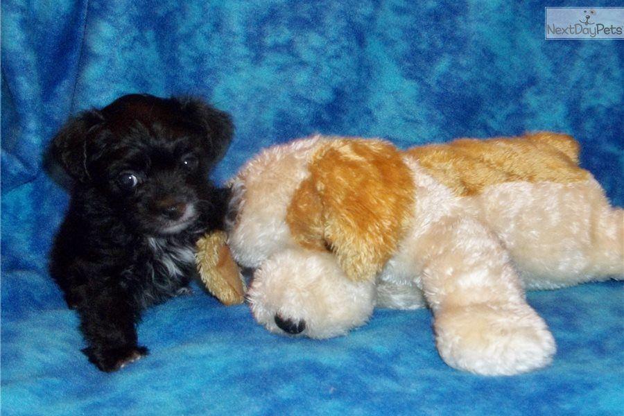 Gabe Yorkiepoo Yorkie Poo Puppy For Sale Near Southeast Missouri Missouri 5d651349 Ad11 Yorkie Poo Yorkie Poo Puppies Yorkie Poo For Sale