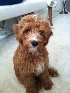 Image result for cavapoo adults size | DOGS | Cavapoo, Dogs, Dog