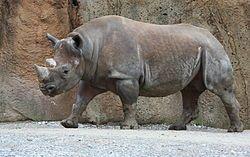 rinoceronte negro o de labio ganchudo (Diceros bicornis)