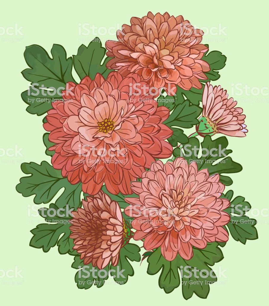 Beautiful Chrysanthemum Flowers Royalty Free Beautiful Chrysanthemum Flowers Stock Vector Art More Images Of Chrysanthemum Flower Free Vector Art Vector Art
