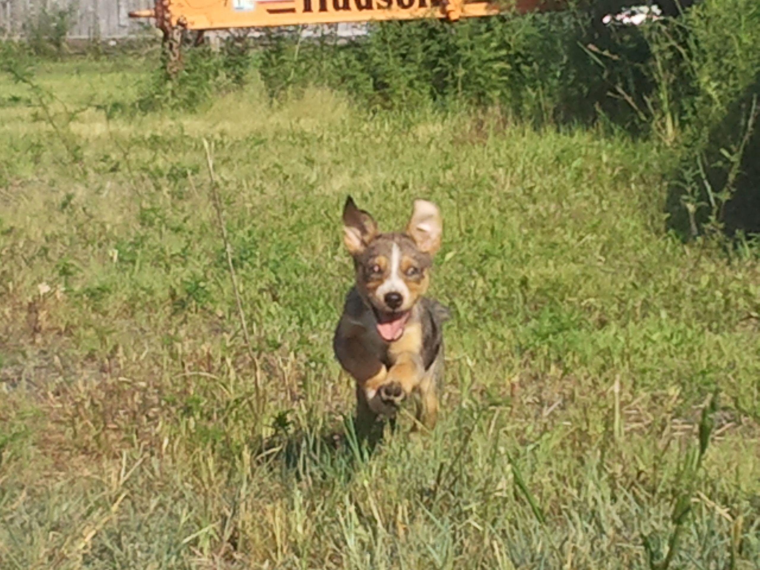 Running Pup Animals Boston Terrier Pup