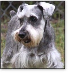Spencer Is An Adoptable Schnauzer Dog In Nashville Tn Slr Inc