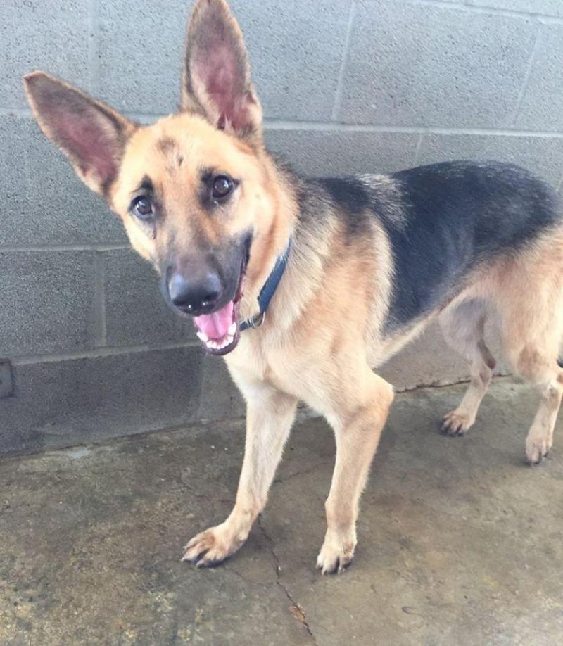 I Found Adopt Me On Petfinder German Shepherd Adoption German Shepherd Dogs Dogs