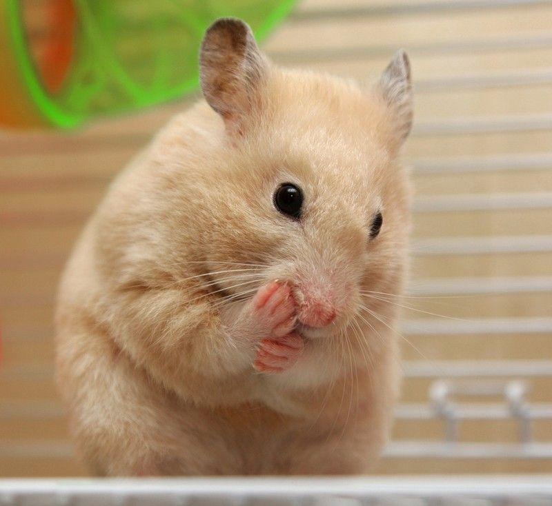 Hamster Diet Tips Pet Supermarket Blog Hamster Care Cute Hamsters Baby Hamster