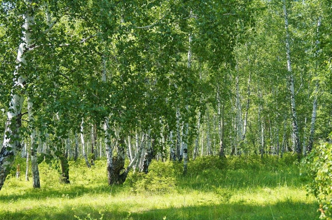 Birch Forest in the Summer.