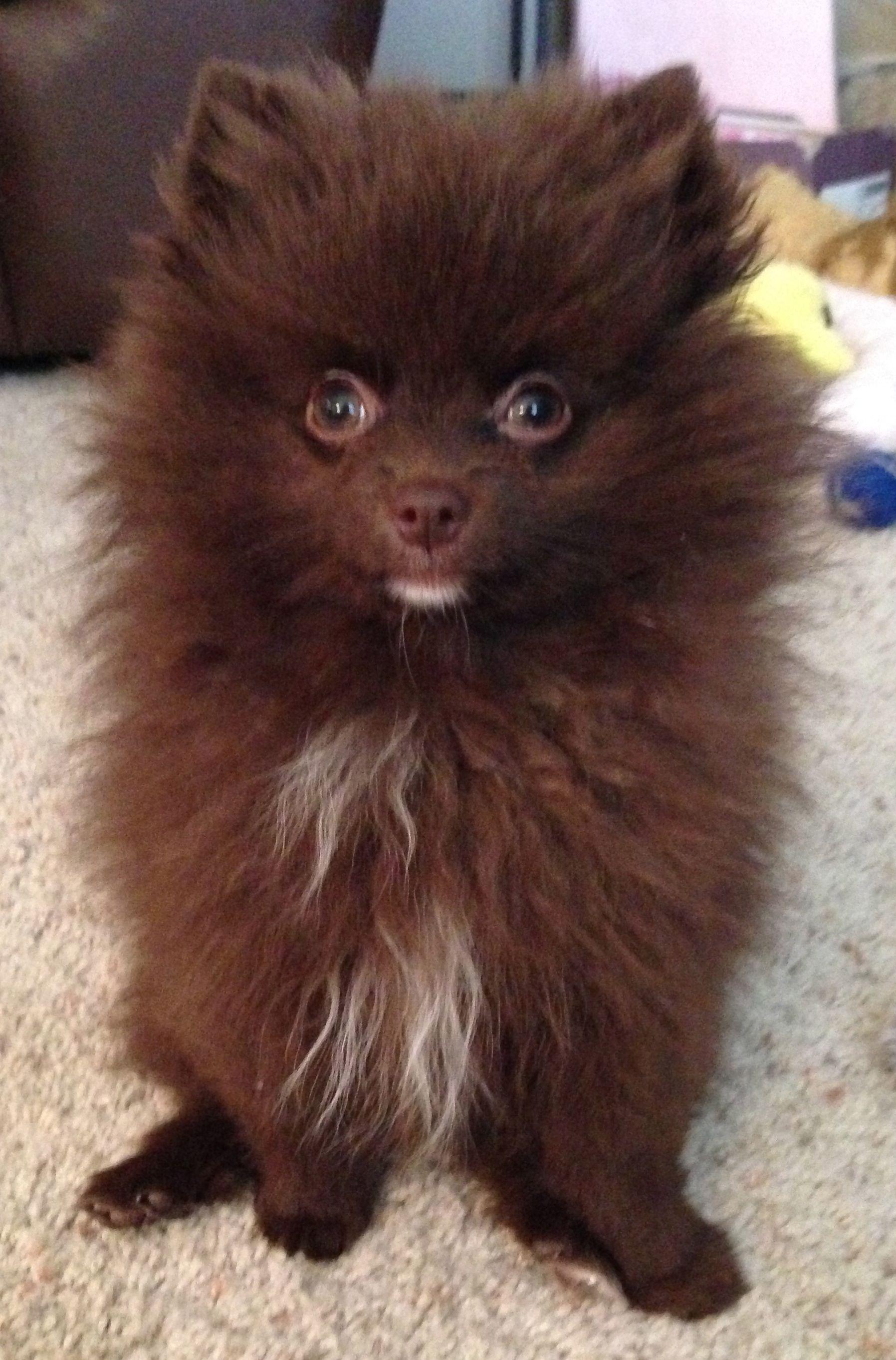 Chocolate Pomeranian | Pomeranians | Pinterest | Pomeranians, Dog ...