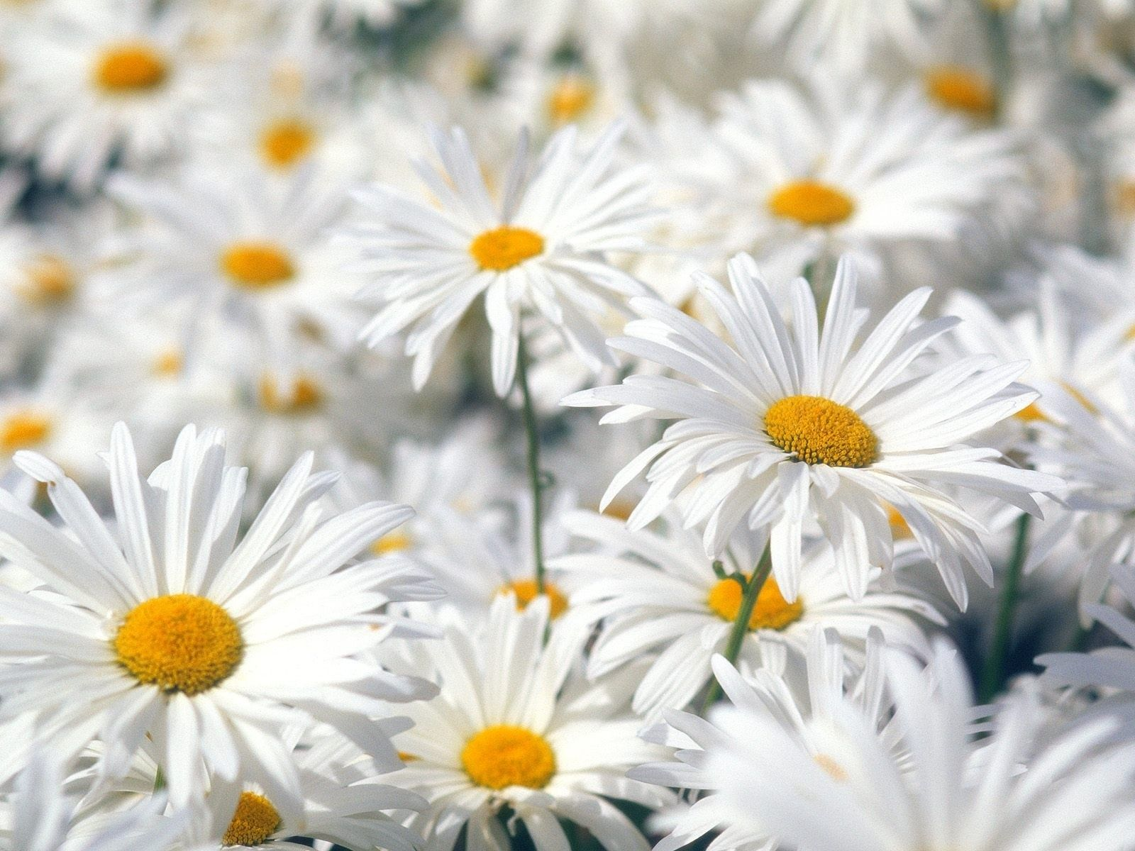 Fresh Daisies Always Bring A Smile And Are An Affordable Spring