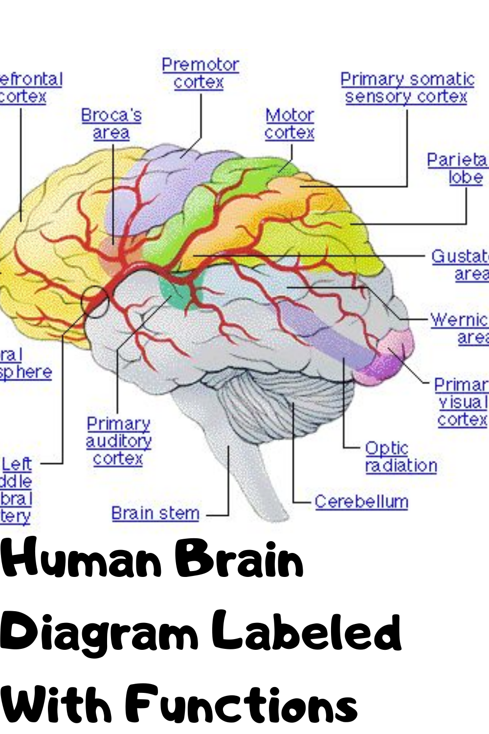 Human Brain Picture labeled in 2020 | Human brain diagram ...