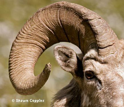 Image Of Rams Horns On Skeleton Of Ram, Fossil,bone, Head,sheep ...