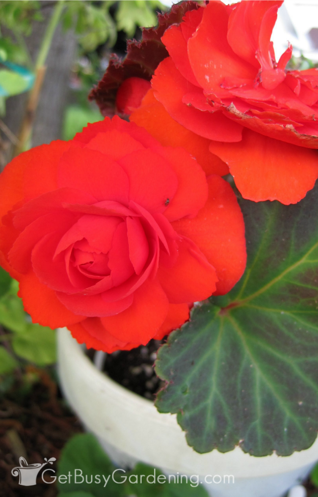 Begonias Make Great Houseplants That Can Bloom Year Round You Ll Find That Indoor Begonia Plant Care Is Similar To Many Hou Tuberous Begonia Plant Care Plants