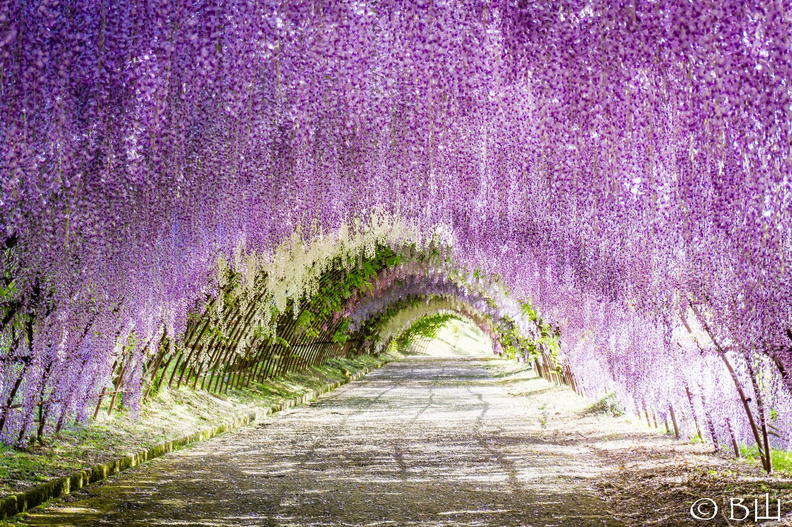 Wisteria Tunnel Japan Wisteria Tunnel Kitakyushu Wisteria Tunnel Japan