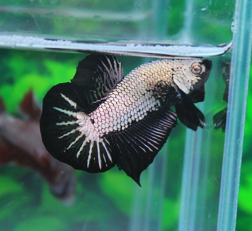 AquaBid.com - Black Copper HMPK N0.A13 (male)