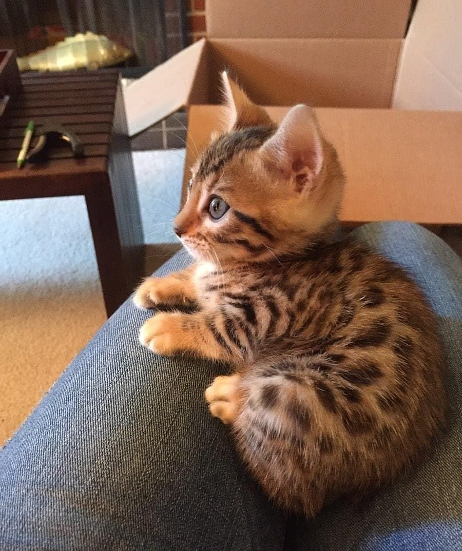Pin by R2 on ️ Cats Bengal, Savannah, Asthera and