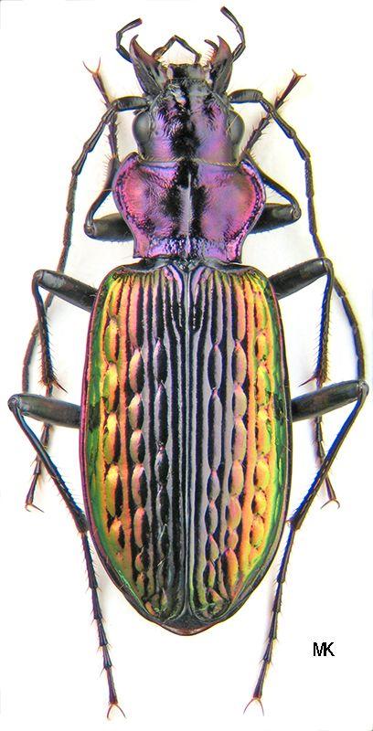 Nebria Catonebria baicalopacifica 3927.jpg (408×800)