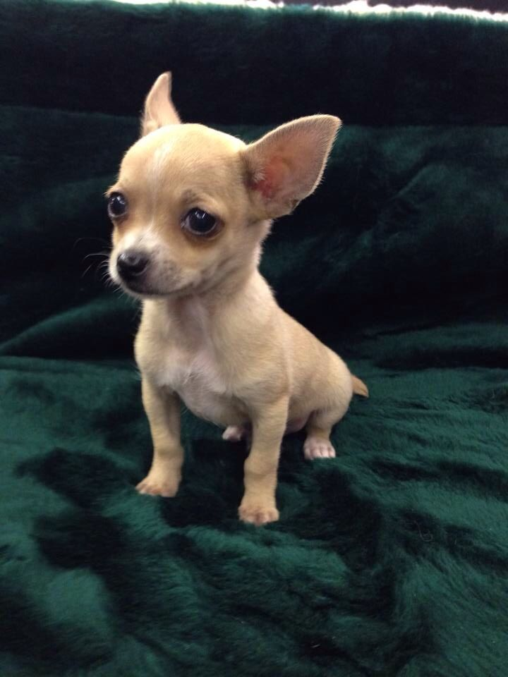 What A Look Chihuahua For Sale At Fish And Pets Pet Shop In