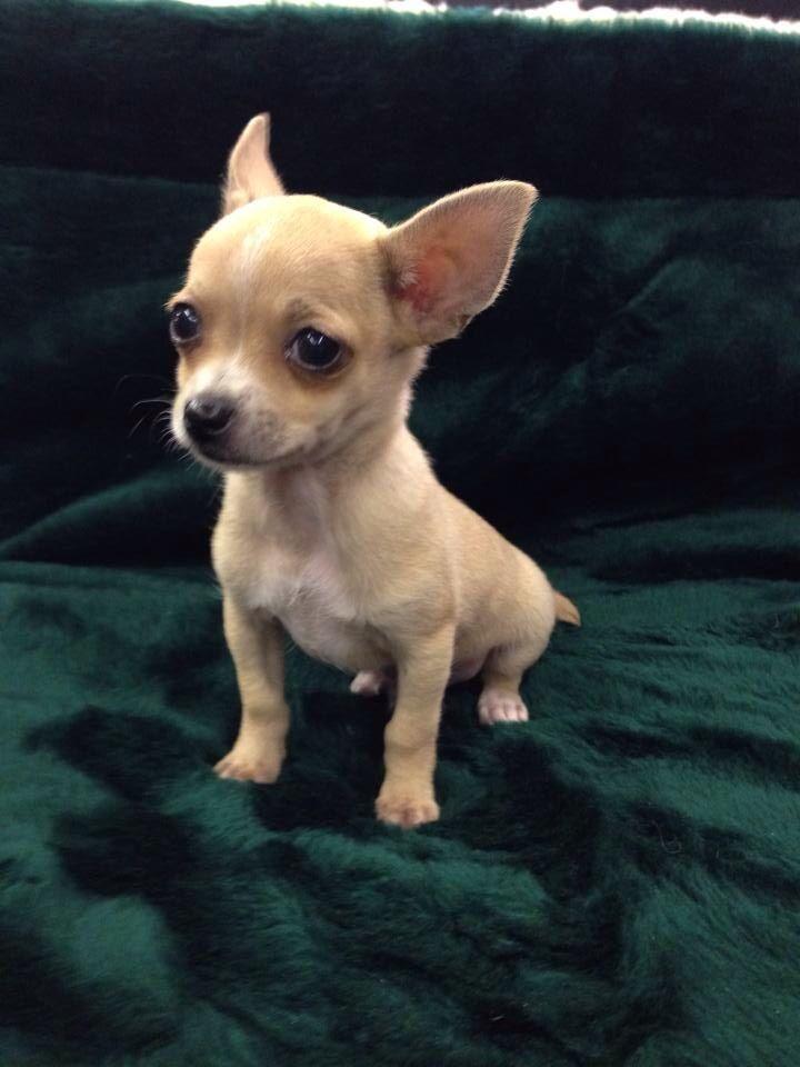 Northwest Seed Pet Has Male Pekingnese Chihuahua Mixed Puppies