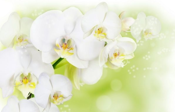 Pin By رغــــــد On White Color Purity Orchid Images Flowers Black Background Orchid Illustration