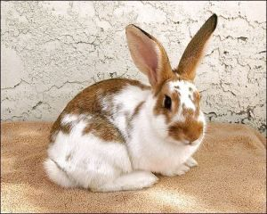 English Spot, Rabbit; Phoenix, AZ Rabbit breeds, English
