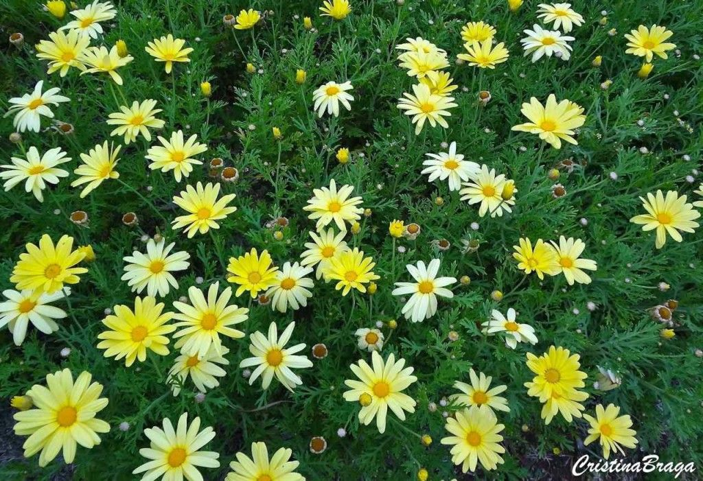 margarida de paris argyranthemum frutescens jamaica primrose inspira o para jardinagem. Black Bedroom Furniture Sets. Home Design Ideas