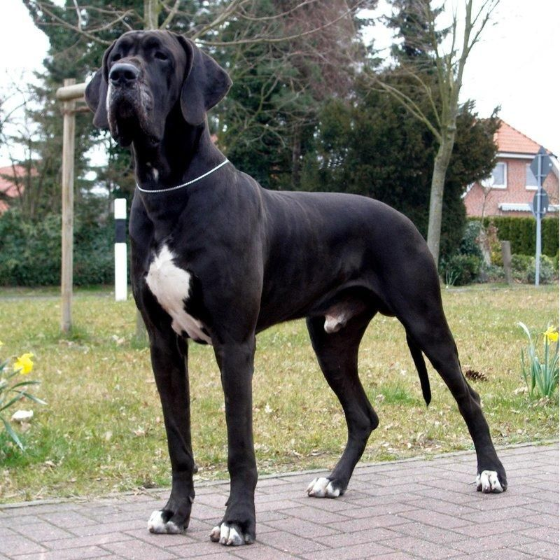 Diamond Painting Great Dane Dane Dog Great Dane Dogs Great
