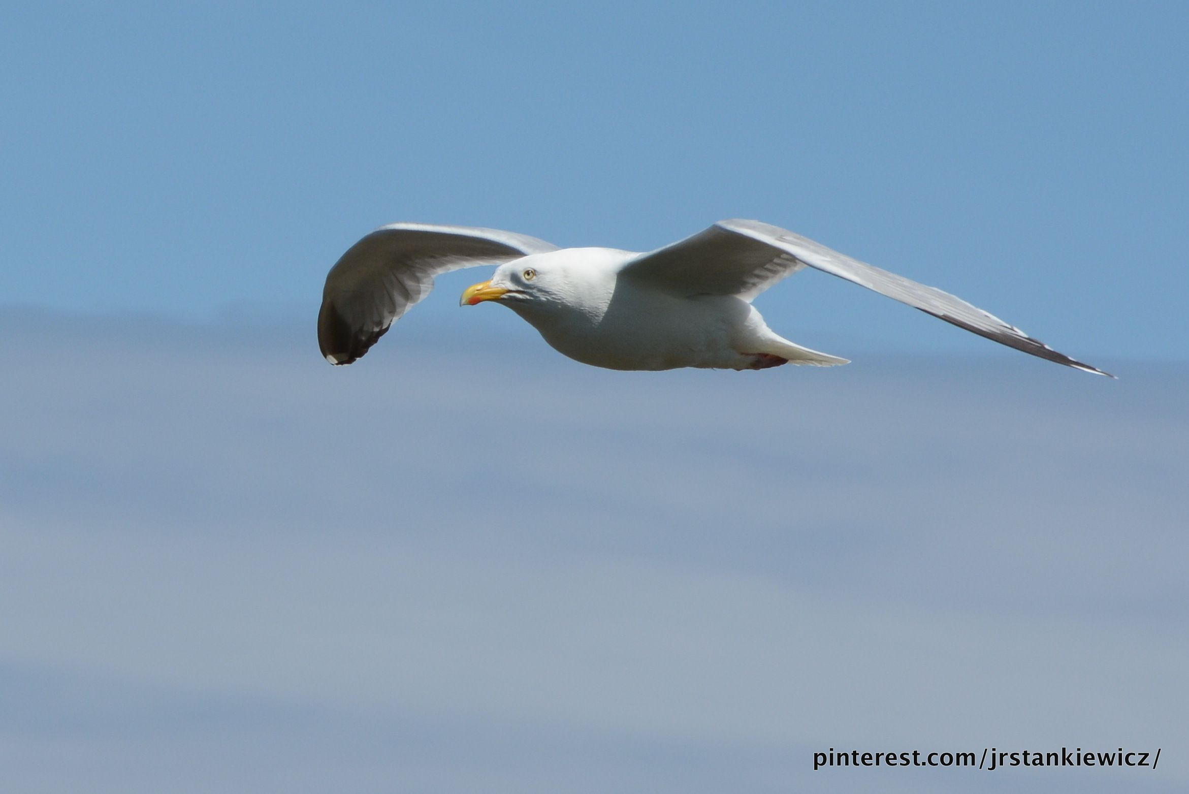 Seagull, Wildlife, Photography