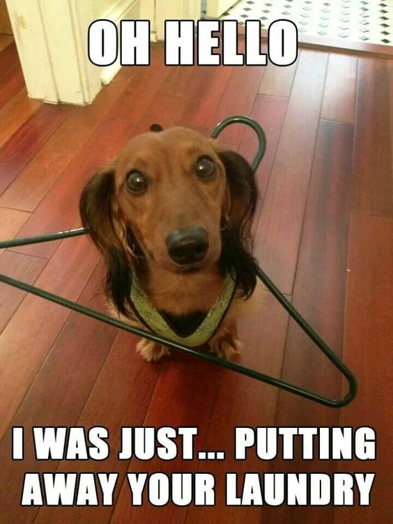 Dachshund Humor Weenie Dogs Sausage Dog Dachshund Love Dachshund Puppies Wiener Dog Weiner Dog Doxie Dach Daschund Puppies Clever Dog Dachshund