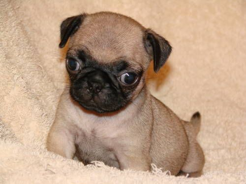 Miniature Tea Cup Pug Puppies Miniature Chinese Pug Soo Cute
