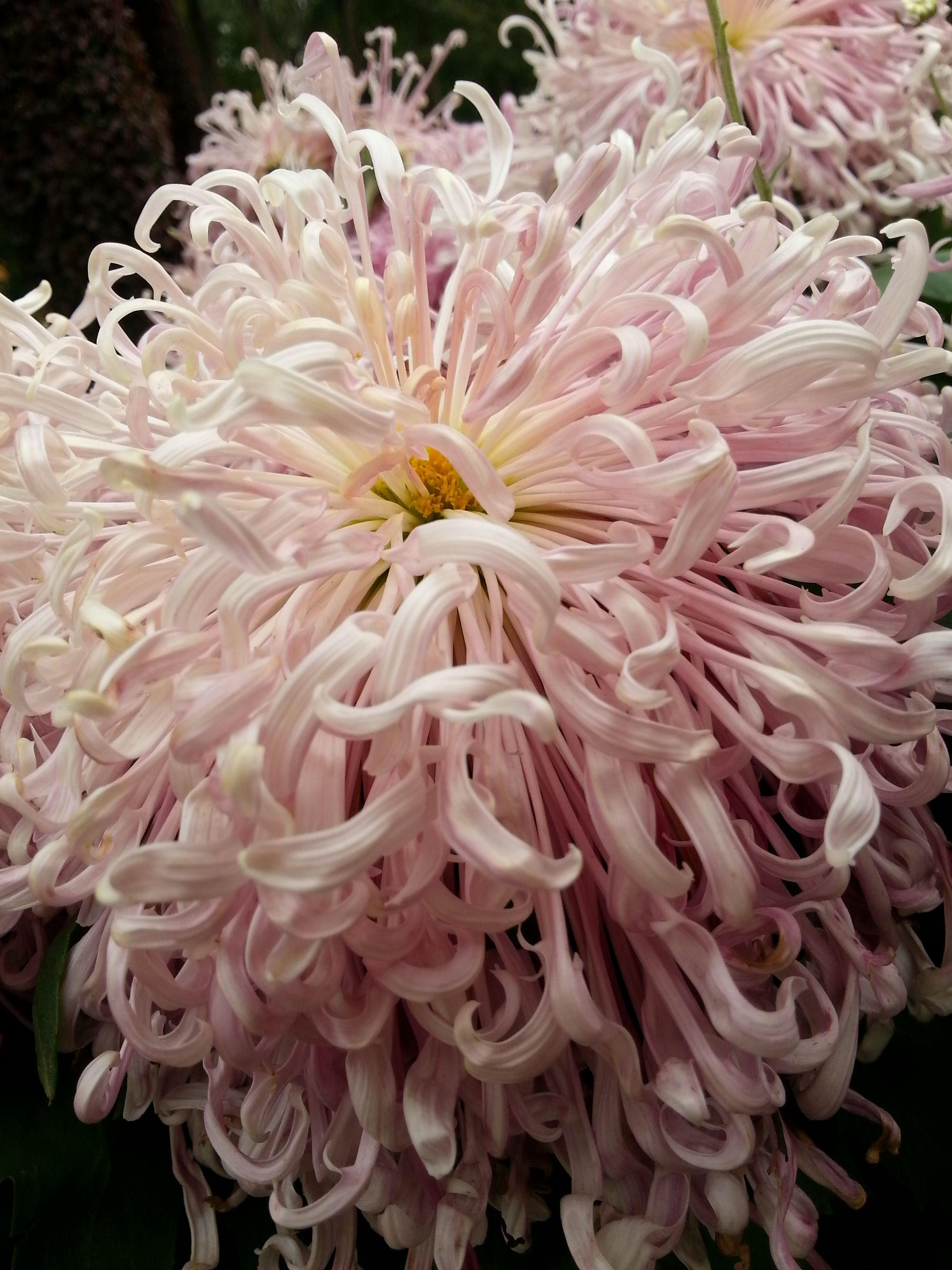 Chrysanthemum flower chrysanthemumseruni pinterest