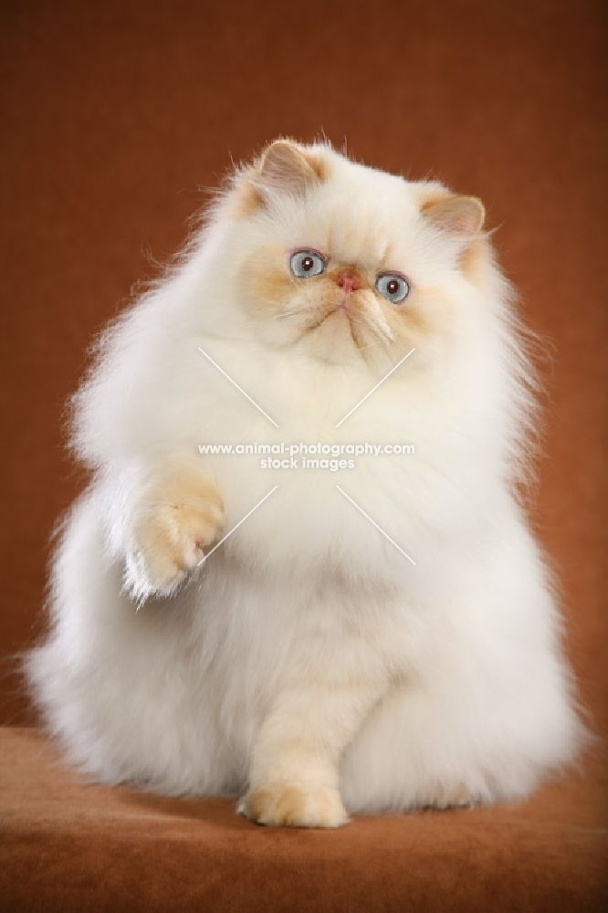 Red point himalayan red point pinterest chat himalayen chat et minou - Himalayen chat ...