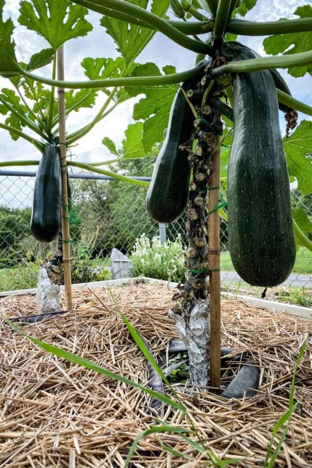 How To Plant And Grow Zucchini - Guide To A Bountiful Harvest